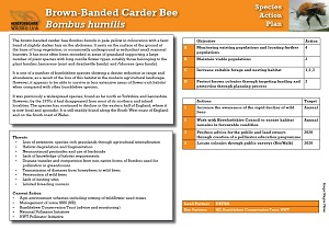 brown-banded-carder-bee